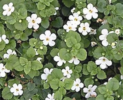 BACOPA 3 ks