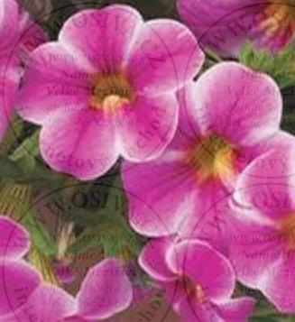 CALIBRACHOA PAINTED PINK 3 ks